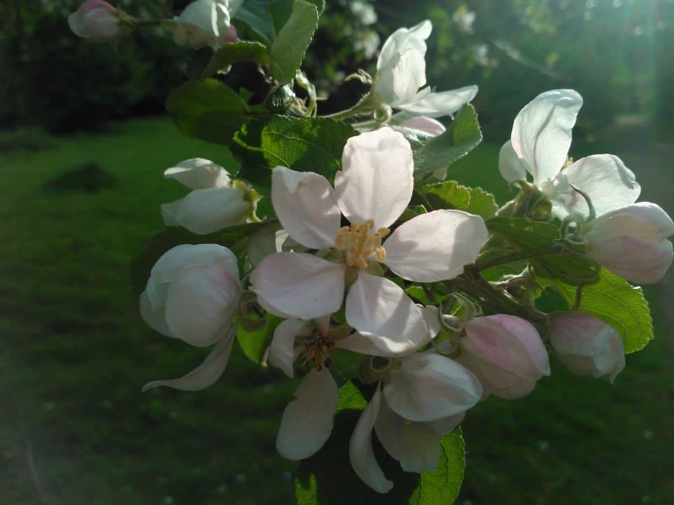 Die zarte Blüte des Apfelbaums