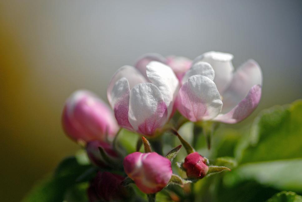 Die zarte Frühlingspracht des Apfelbaums