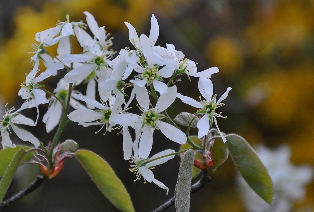 Die zarten Blüten der Felsenbirne