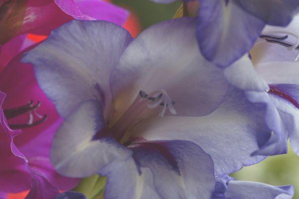 die zarten Farben einer Iris