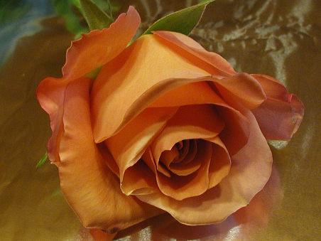 Die Zartheit einer Rose