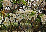 ## Die Zaunblüte ##