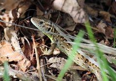 Die Zauneidechse – ein wärmeliebendes Reptil