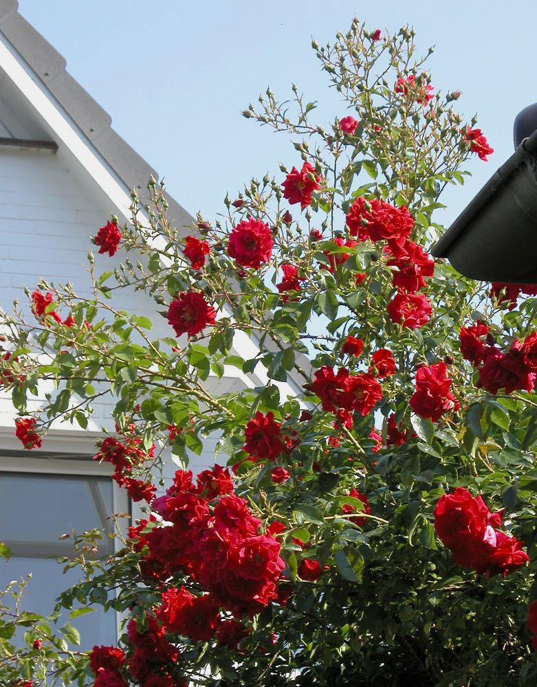die Zaunkönige- rote Rosen en masse