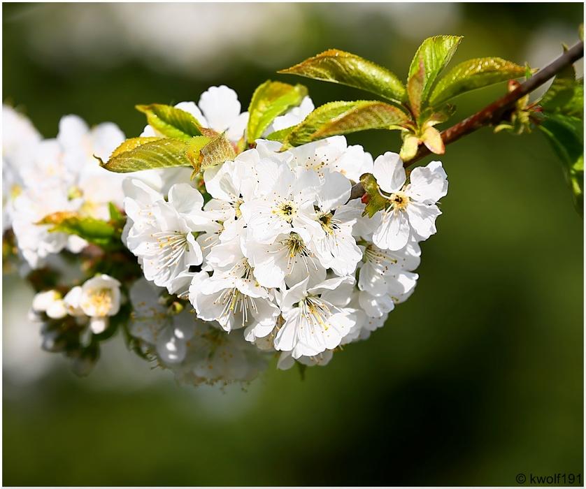 Die Zeit der Kirschblüte