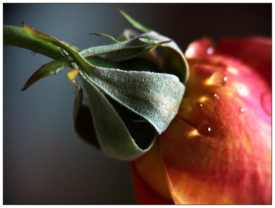Die Zeit der Rosen [2]