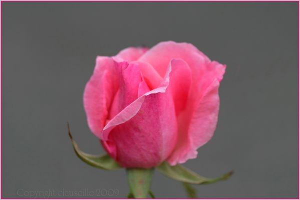 Die Zeit der Rosen...