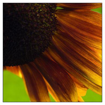 Die Zeit der Sonnenblume