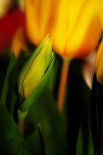 die Zeit der Tulpen