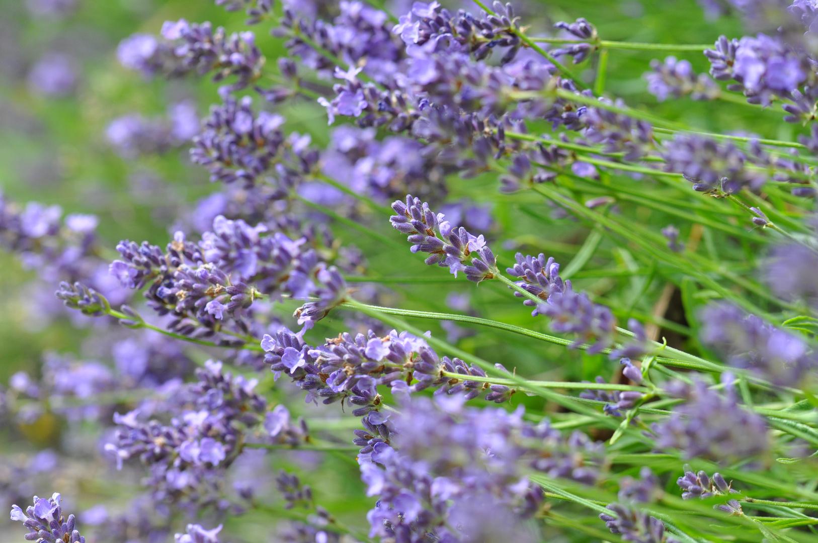 Die Zeit des Lavendel