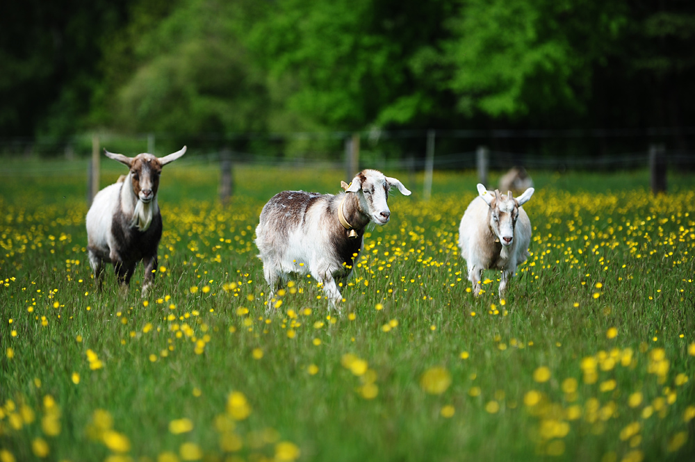 Die Ziegen