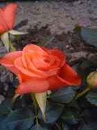 Die zweifarbige Rose