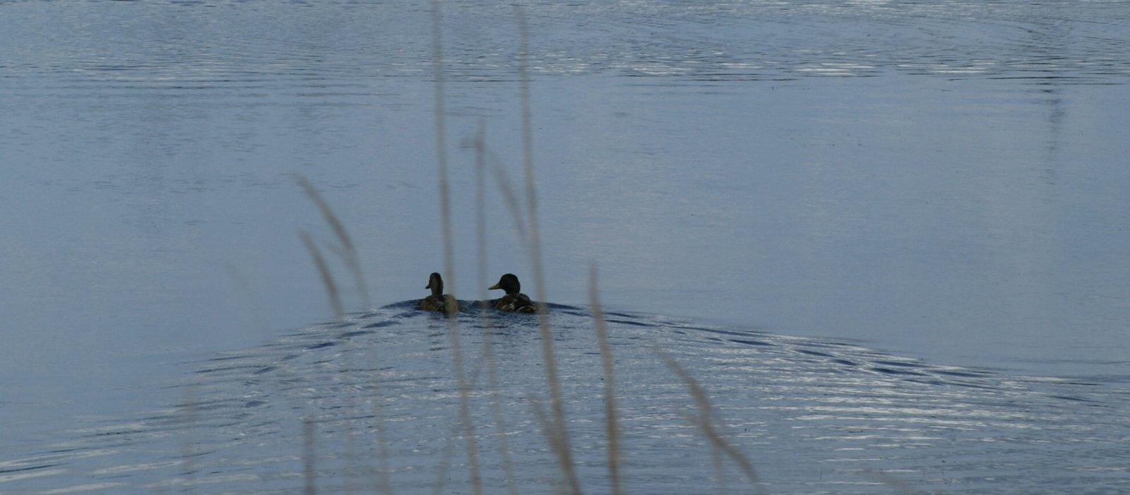 Die Zweisamkeit der Enten
