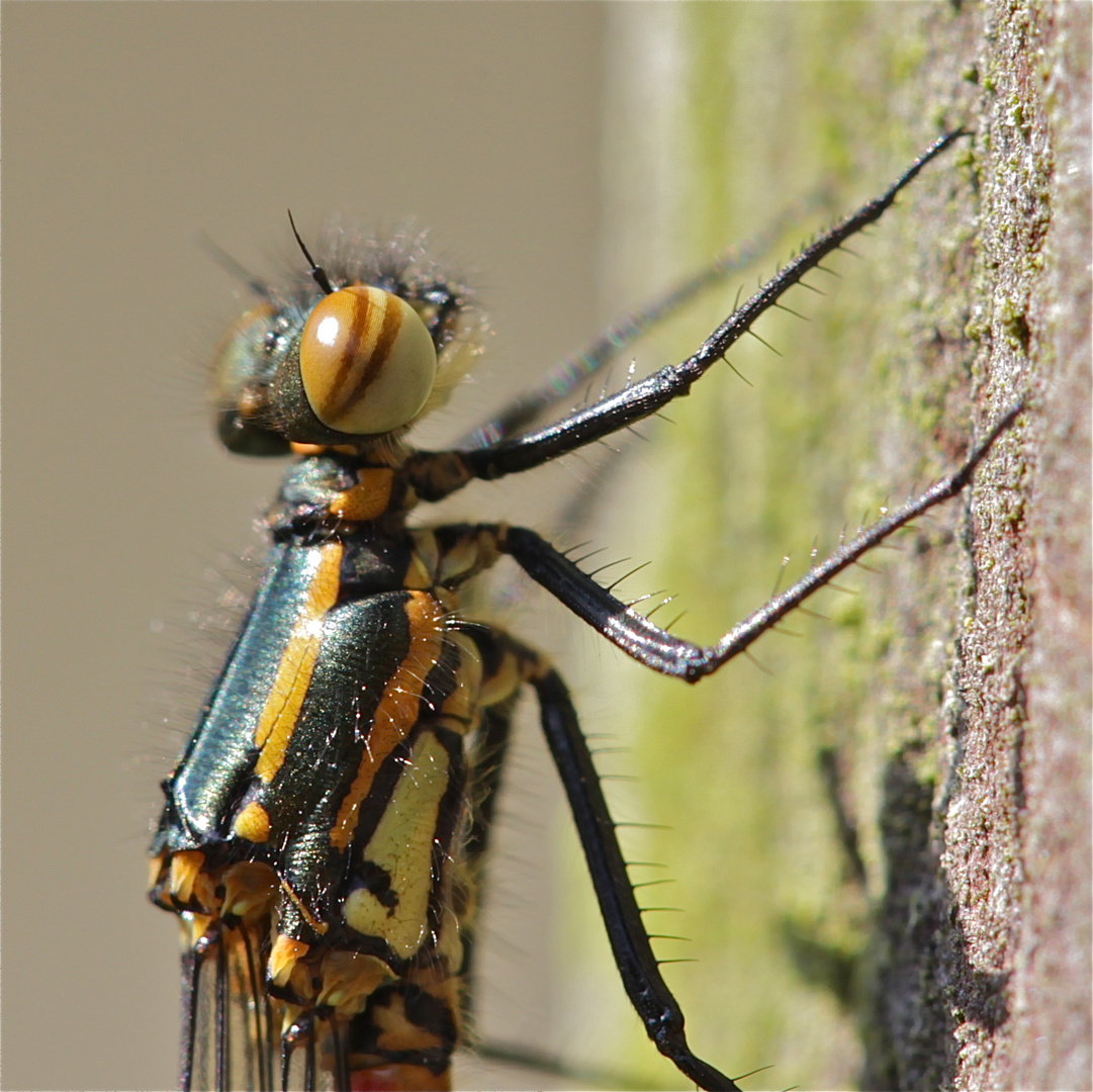 Die zweite im Garten - wieder ein Weibchen der Frühen Adonislibelle - . . .