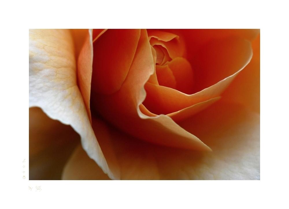 Die zweite Rose....
