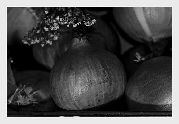 ... die Zwiebel