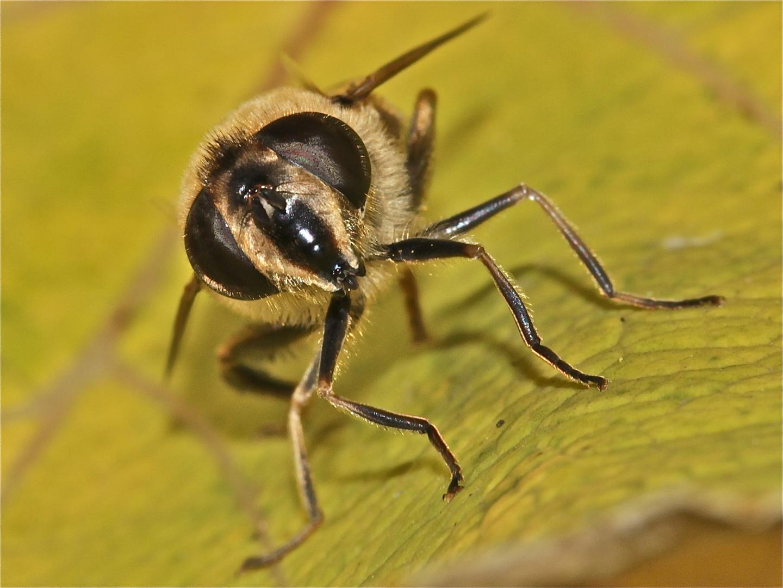"""Die""""Mistbiene"""" Eristalis tenax, eine der häufigsten Schwebfliegenarten bei uns."""