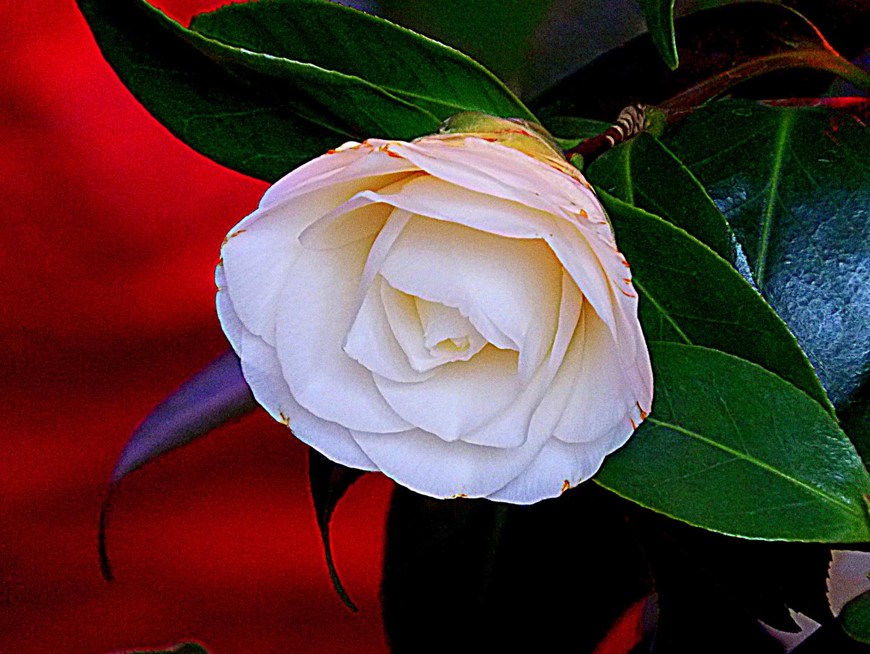 ~diemittwochs rose zum Donnerstag~