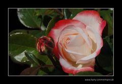 Dienstags-Blume