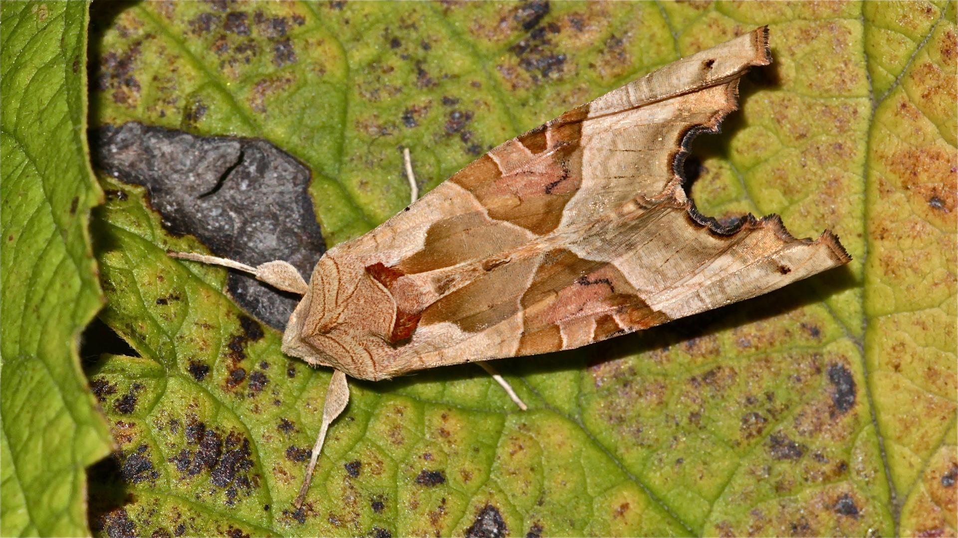Diese Achateule (Trigonophora meticulosa) wünscht Euch einen guten Wochenanfang!