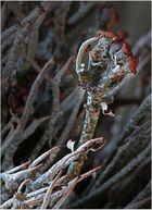 Diese braunköpfige Cladonia ist eine ...