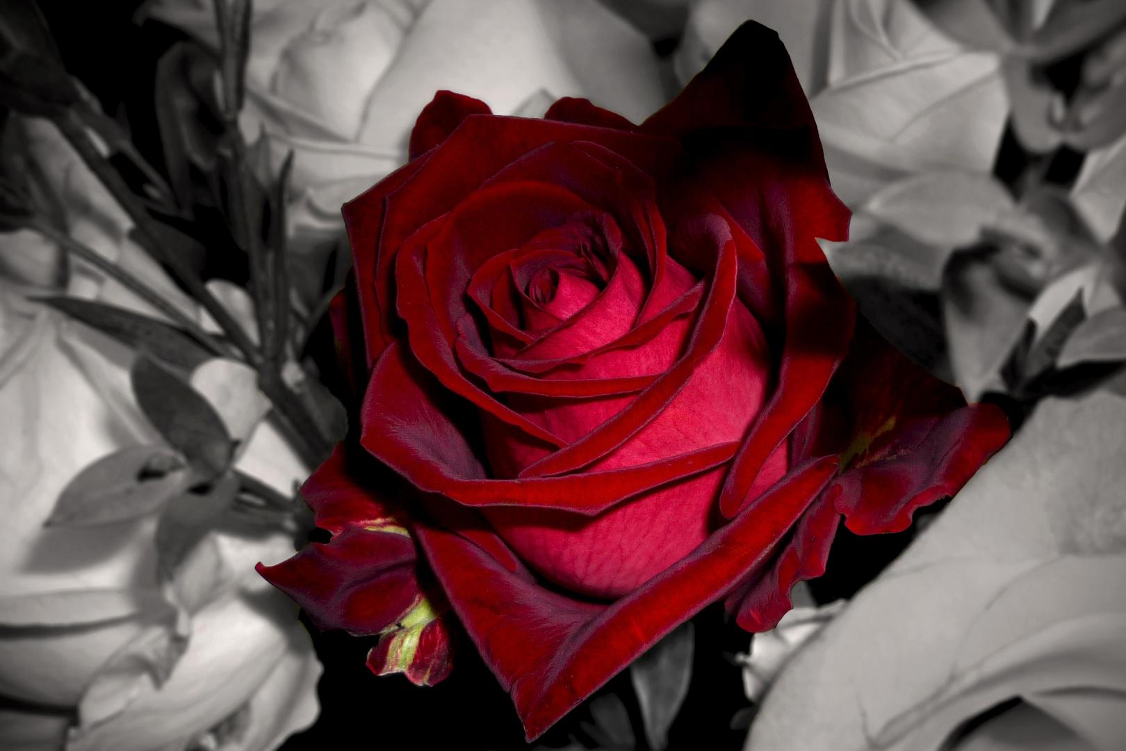diese eine Rose ...