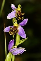 diese einhemische Orchidee eine Bienenragwurz