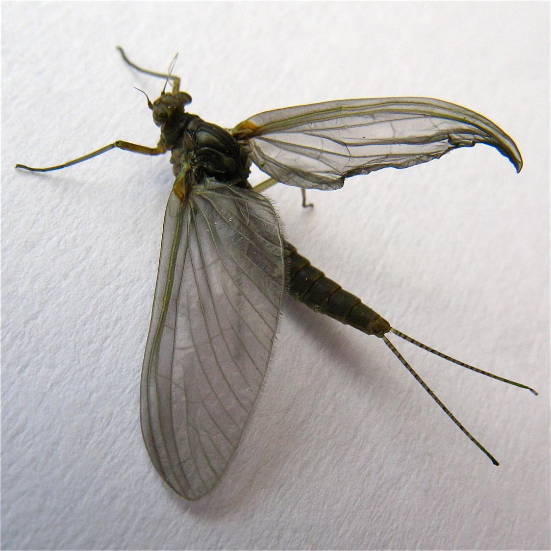 Diese Eintags(!)fliege habe ich gestern auf einem Seerosenblatt im Teich entdeckt.
