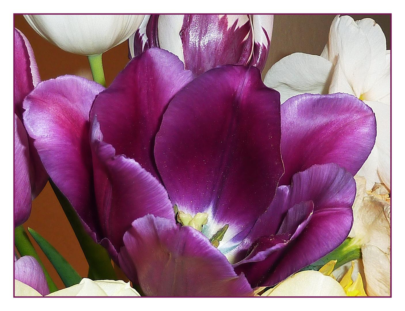 Diese farbe bei den tulpen mag ich besonders (reload)