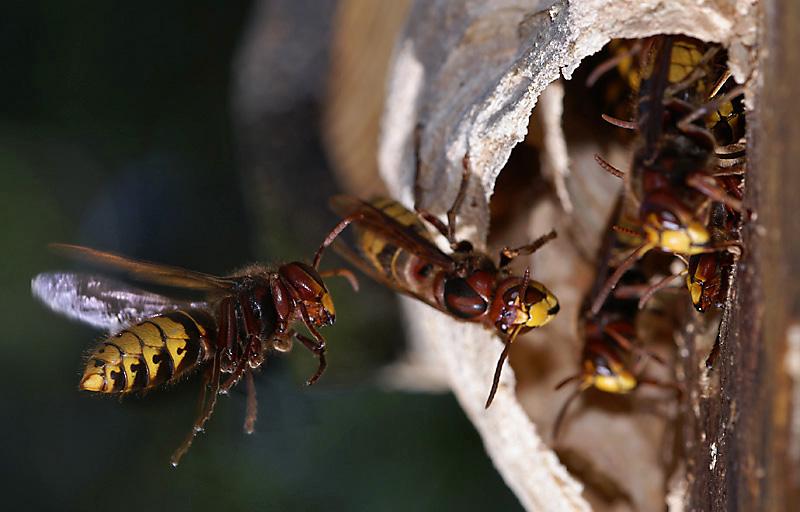 Diese Hornissen (Vespa crabo) haben ...