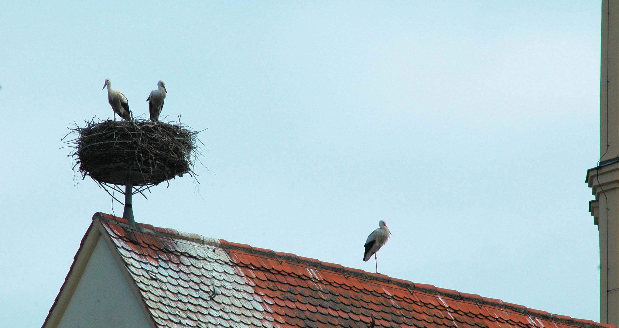 Diese Jungstörche haben anscheinend ein Elternteil auf den Dachfirst verwiesen.