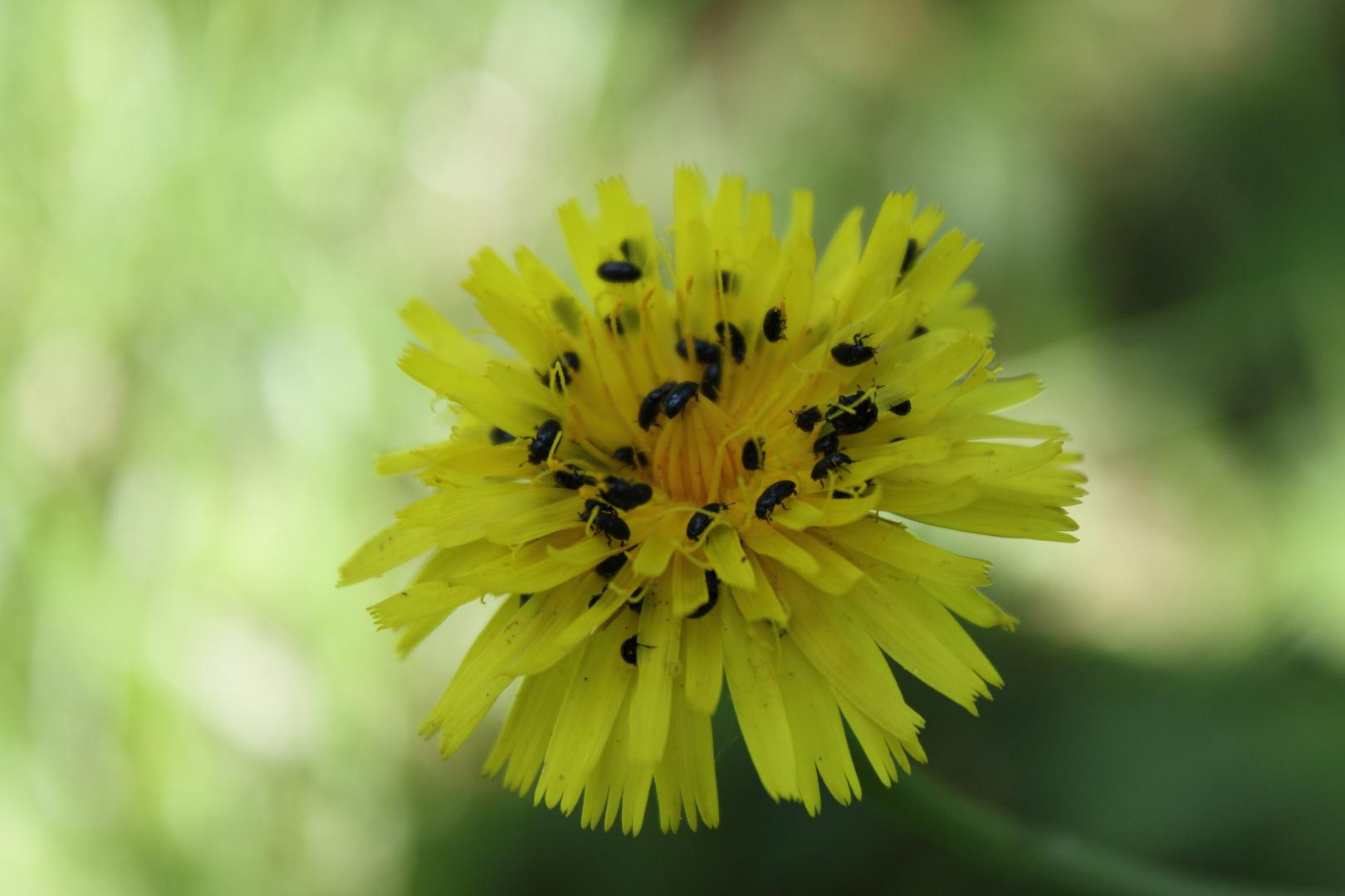 diese Käfer stehen auf gelbe Blumen