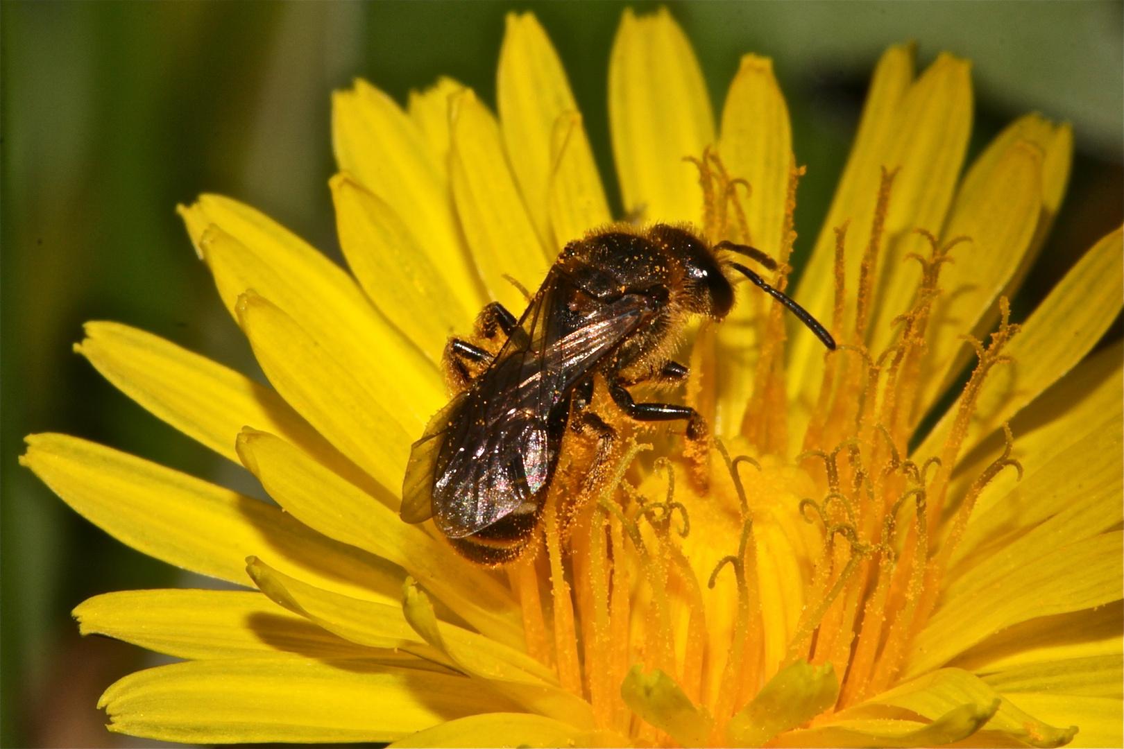 Diese kleine, etwa 1 cm lange Wildbienbenart . . .