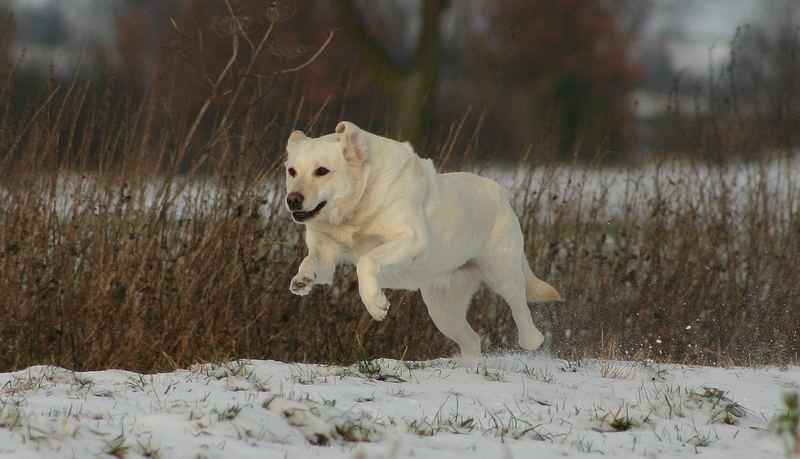 Diese Labradors:-)
