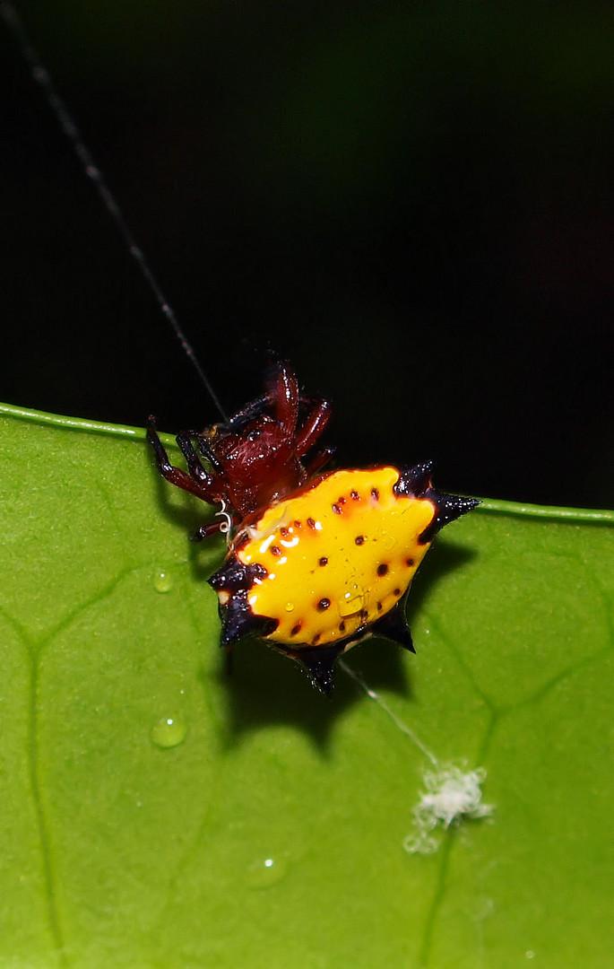 Diese lustigen Spinnen gabs auch auf Cayo Levantado...ich habe sie Sternchen genannt...