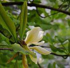 Diese Magnolienart wird bis zu 10 m hoch und blüht erst nach erscheinen der Blätter
