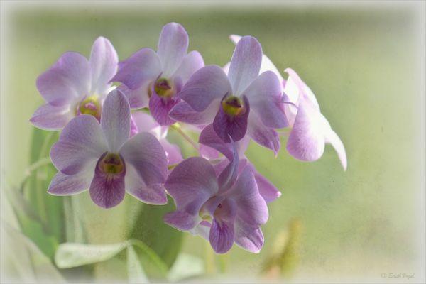diese Orchidee...