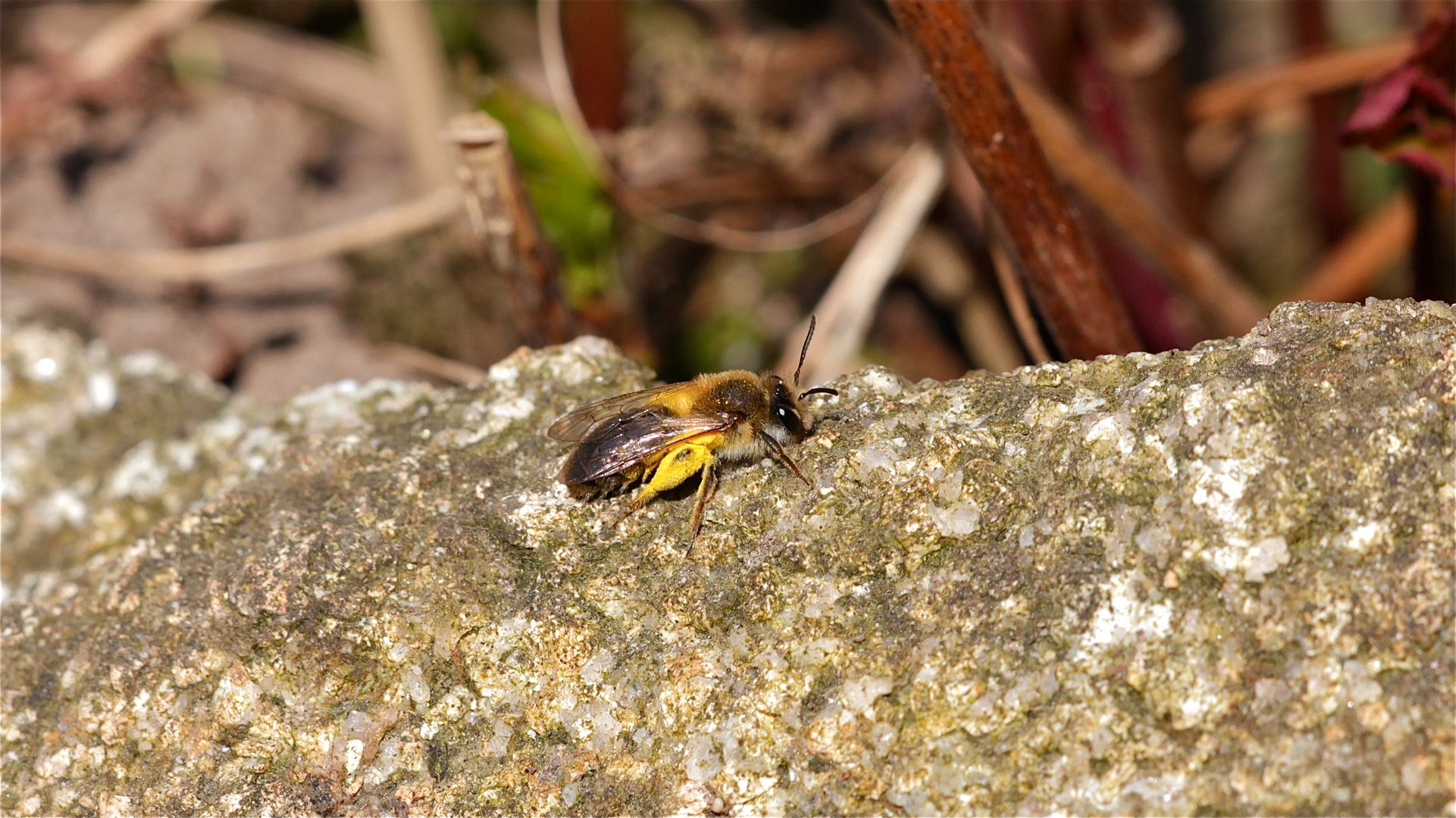 Diese pollenbeladene Sandbienenart (Andrena haemorrhoa) ist eins von zwei bis drei Exemplaren, . . .