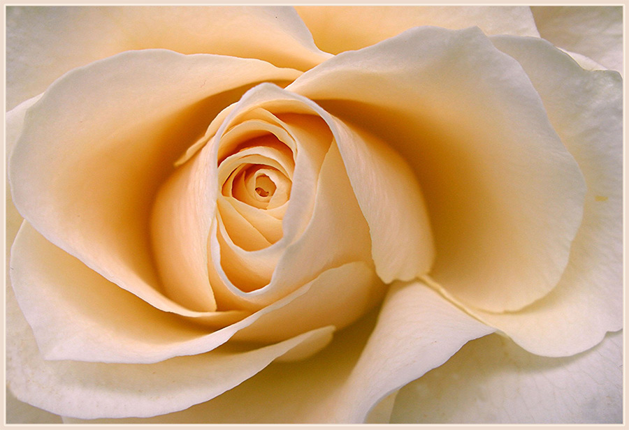 Diese Rose
