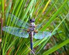 Diese Segellibelle begegnete mir im Sommer 08 am wunderschoenen Biotop Friederichsfehner See