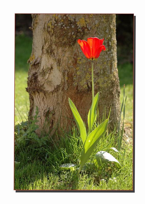 Diese Tulpe
