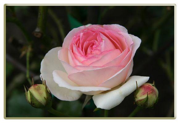 Diese wirklich teure Rose mußte ich einfach verewigen.