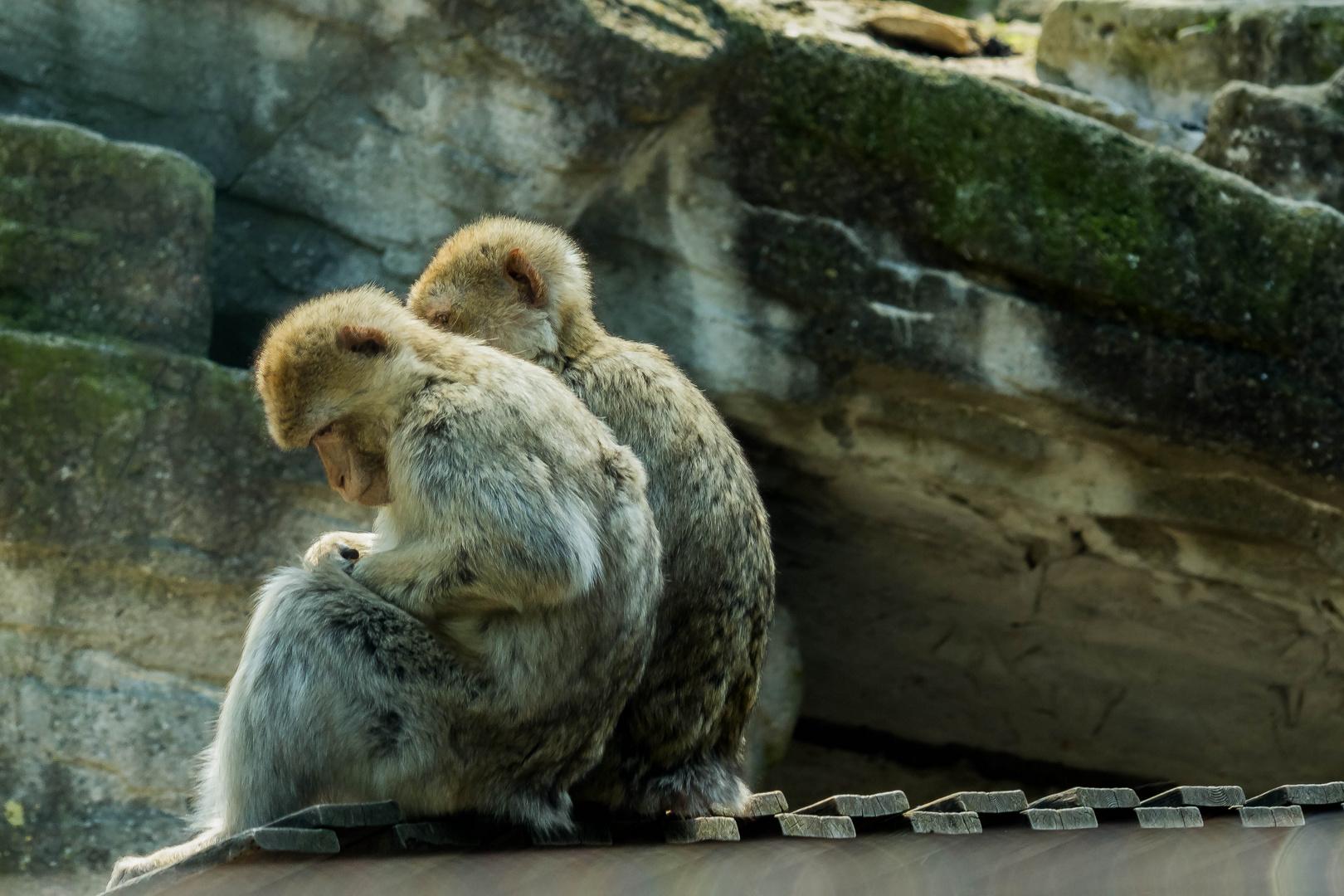 Dieser Affe kann mir doch den Buckel runter rutschen