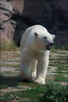 Dieser Eisbär oder diese Eisbärin...........
