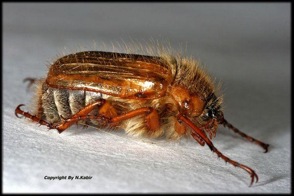 Dieser Käfer stellt sich Tod !!
