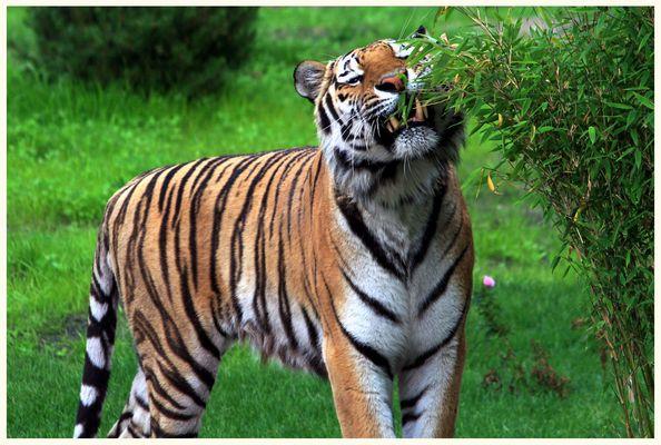 dieser Tiger isst vegetarisch ;-)