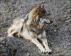 Dieser Wolf hat alles unter Kontrolle.