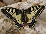 dieses Jahr schon zehnte ausfliegen Papilio machaon