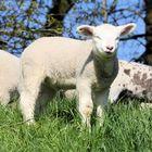"""dieses Lamm"""" lächelt"""""""