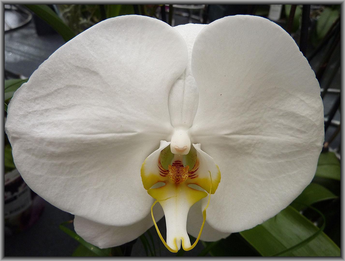 diesmal eine weiße Orchideenblüte